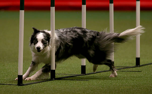 BIRMINGHAM, ENGLAND - MARCH 07:  A collie dog competes in the agility competition on the second day of the Crufts dog show at the NEC on March 7, 2014 in Birmingham, England. Said to be the largest show of its kind in the world, the annual four-day event, features thousands of dogs, with competitors travelling from countries across the globe to take part. Crufts, which was first held in 1891 and sees thousands of dogs vie for the coveted title of 'Best in Show'.  (Photo by Matt Cardy/Getty Images)